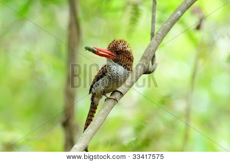 beautiful female banded kingfisher (Lacedo pulchella) in Thai forest poster