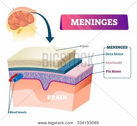 Meninges Vector Illustration. Labeled Anatomical Educational Head Surface Layers Scheme. Healthy And