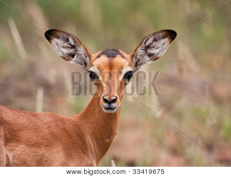 Baby impala looking alert to avoid predators poster