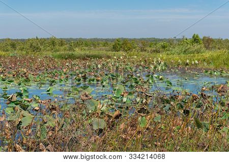 Wetlands Nature Background With Water Lilies And Water Plants. Wetlands Biodiversity Ecosystem Envir
