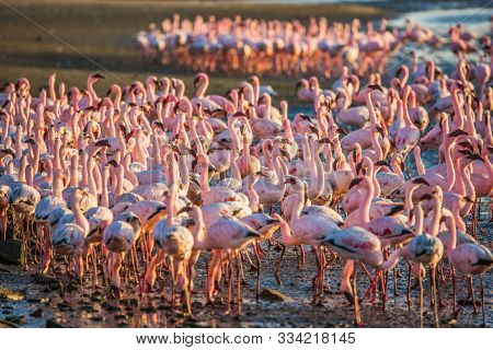 Interesting and useful birdwatching. Namibia. Africa. Huge colony of pink flamingos. Gorgeous birds feed in the shallow water of the Swakopmund. Ecological, active and photo tourism concept