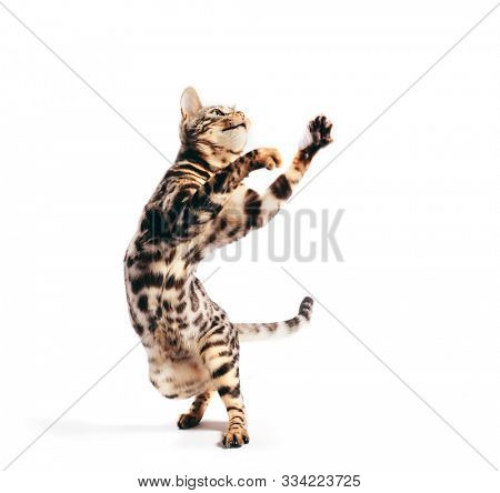 Bengal cat standing in funny pose as if dancing. Isolated on white background. Purebred