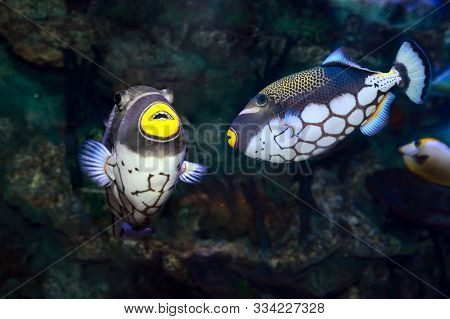 Couple Of Small Tropical Fishes Balistoides Conspilum In Coral Reef Seawater