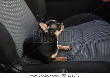 Dog In Car. Funny Chihuahua Dog. Tiny Dog On Seat In Car. Dog With Big Ears In A Car Waiting For Own