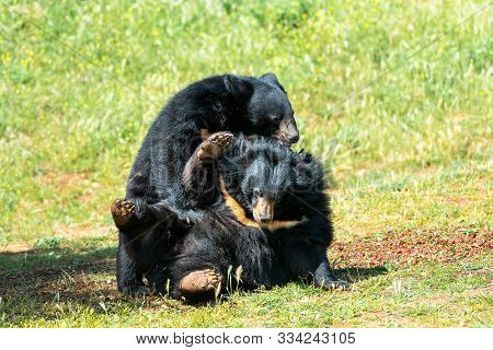 Two Asian Black Bears Playing On The Grass