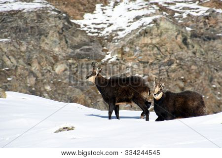 Pair Of Chamois On The Snow In The Gran Paradiso Park
