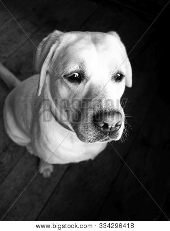 Observing Labrador View During Evening Black And White