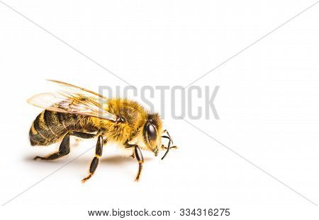 Honey Bee Macro, Isolated On White Background. Bee Concept. Copy Space On Right