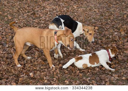 Jack Russell Terrier Puppy, Estonian Hound Puppy And Amstaff Puppy Are Playing In The Autumn Park. P