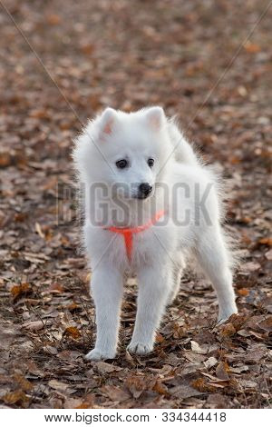Cute Japanese Spitz Puppy In Beautiful Dog Collar Is Standing In The Autumn Park. Pet Animals.