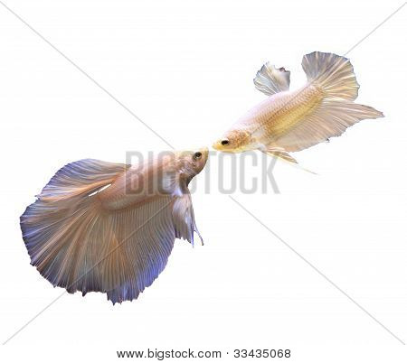 white thai fighting fish and fighting isolated white poster