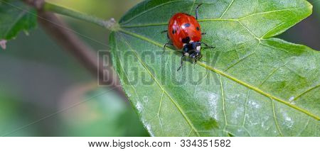 Coccinellidae On A Green Leaf Of A Plant.coccinellidae On A Green Leaf Of A Plant