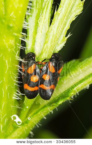 a pair of froghoppers on a leaf - close-up / Cercopis arcuata