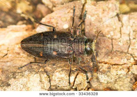 Gold pit oak splendour beetle / Chrysobothris affinis