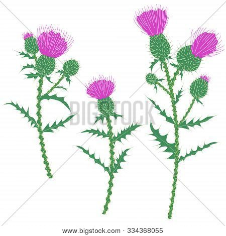 Simple Thistle Plant With Prickly Stem And Leaves And Rounded Heads Of Purple Flowers Isolated On Wh