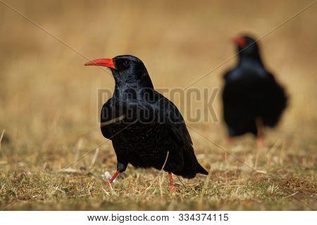Red-billed Chough - Pyrrhocorax Pyrrhocorax, Cornish Chough Or Simply Chough Is A Black Bird With Th