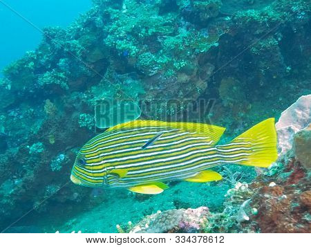 Close Up Of A Cleaner Wrasse And A Lined Sweetlips At Tulamben, Bali