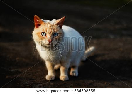 Stray Sad White Cat On Street Looking At Camera. Stray Homeless Cat Wanders On Streets Search Food.