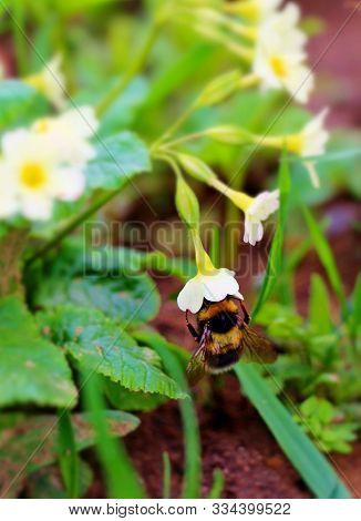 Bumblebee Hung On Primrose Yellow Flower. Funny Big Bumblebee In Little Gentle Flower. Wildlife Hone