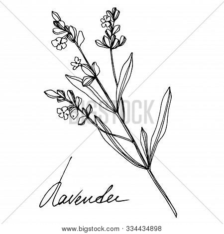 Vector Lavender Floral Botanical Flowers. Black And White Engraved Ink Art. Isolated Lavender Illust