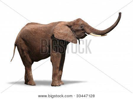 Glada elefanten isolerad på vit