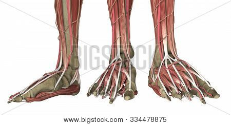 Human Foot Anatomy Skinless Isolated On White. 3d Rendering