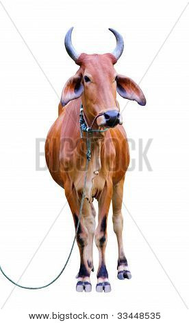 Zebu cow