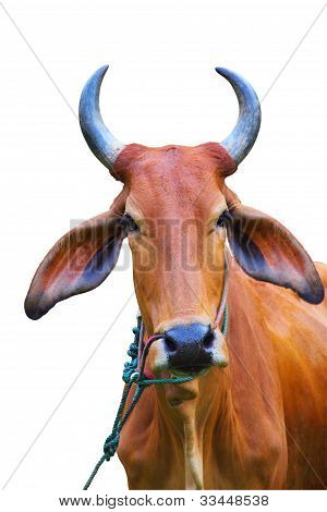 Portrait of zebu cow