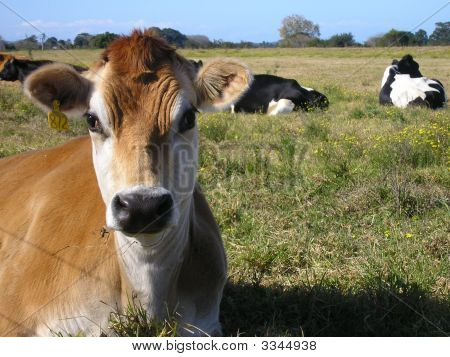 Jersey Cow.