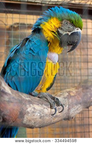 The Blue-yellow Macaw Parrot (ara Ararauna) On The Branch In Aviary.