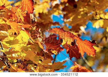 Close-up Of A Maple Tree In Autumn With Red, Orange And Yellow Leaves
