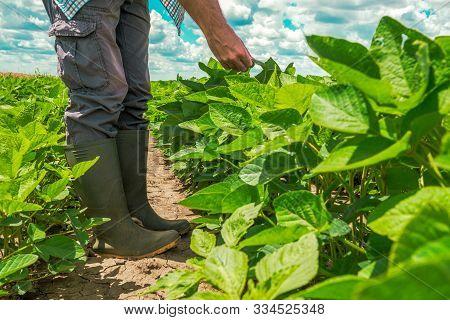Farm Worker Controls Development Of Soybean Plants. Agronomist Checking Soya Bean Crops Growing In T