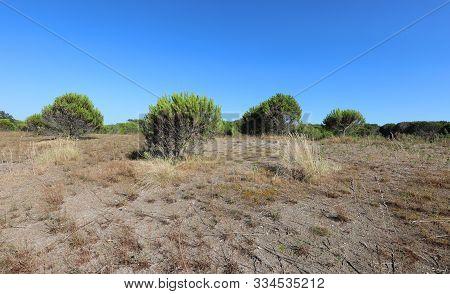 Vegetation Of Maquis Shrubland With Sand Called Macchia Mediterranea In Italian Language