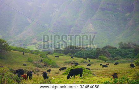 Cows in Pasture, Kaaawa Valley, Hawaii