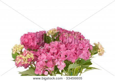 hydrangea flowers (zoom 2)