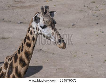 Close Up Portrait Of Giraffe Head, Giraffa Camelopardalis Camelopardalis Linnaeus, Profile View, Bei