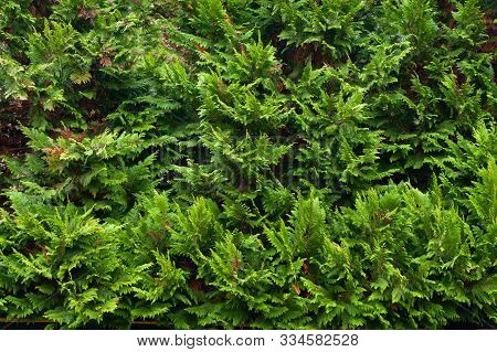 Green Christmas Natural Background. Closeup Of A Branch Of The Thuja Occidentalis. Texture Backgroun