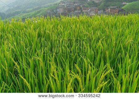 Rice Growing Slowly On The Longji Rice Terraces, Northeast Of China`s Guangxi Zhuang Autonomous Regi