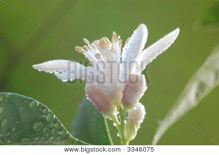 Lemon In Blossom