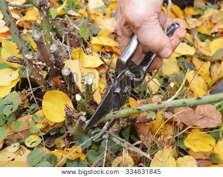 Shorten The Stems Of Tall Bush Roses To Reduce Wind-rock During Winter Gales. Prune Rose Bush