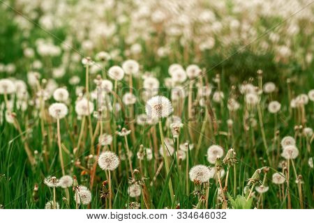 Nature White Flowers Blooming Dandelion. Background Beautiful Blooming Bush Of White Fluffy Dandelio