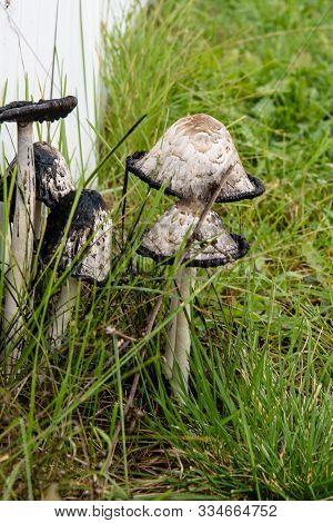 Big White Mushrooms In The Green Grass. Inedible Mushrooms.
