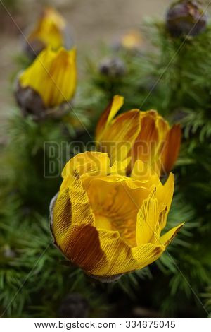 Yellow Flowers Adonis Vernalis Grow In The Spring Garden Close U