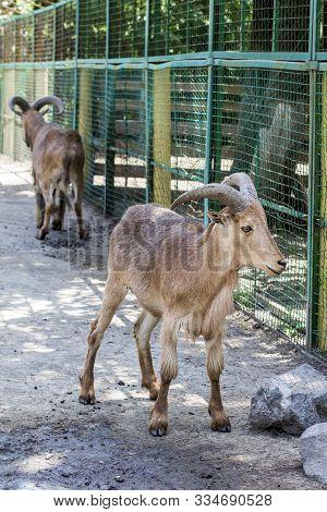 Maned Ram.  Pair Of Maned Sheep In A Zoo