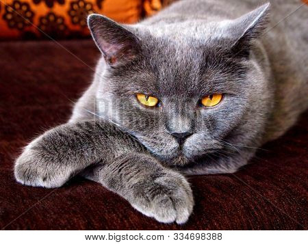 Angry evil cat looks sneaky puts paw on paw. Sneaky cat with bad yellow eyes laying like boss. Angry aggressive cat face closeup in conflict. Angry animal domestic pet theme. Mad ferocious cat at home poster