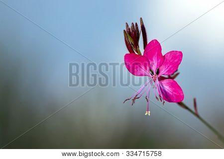Flower Pink Gaura Oenothera Lindheimeri Close-up On A Blurred Background