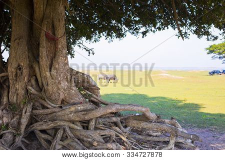 Large Tree Roots,trunk And Tree Roots, Shadow Of Trees