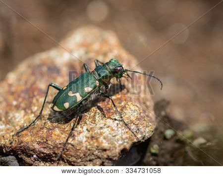 A Green Tiger Beetle (cicindela Gallica) On The Ground, On A Sunny Day In Summer, Italian Alps (sout