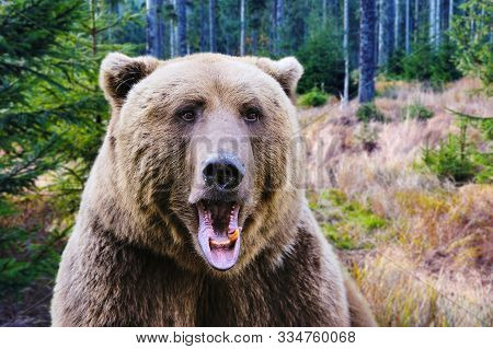 Brown Bear Portrait. Big Brown Bear In Autumn Forest.
