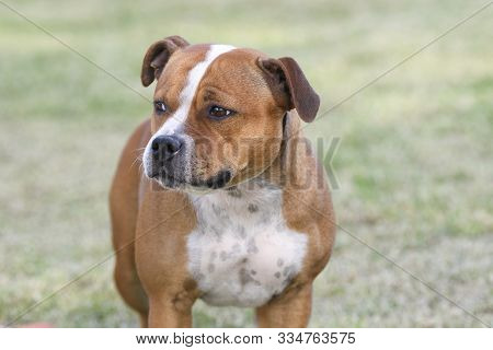 Red Staffy Pup On The Grass Posing For The Camera
